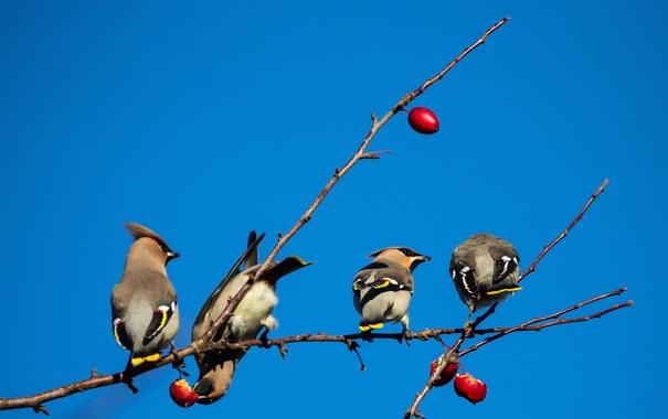 Фото обои небо, птицы, ветка, плоды, свиристель