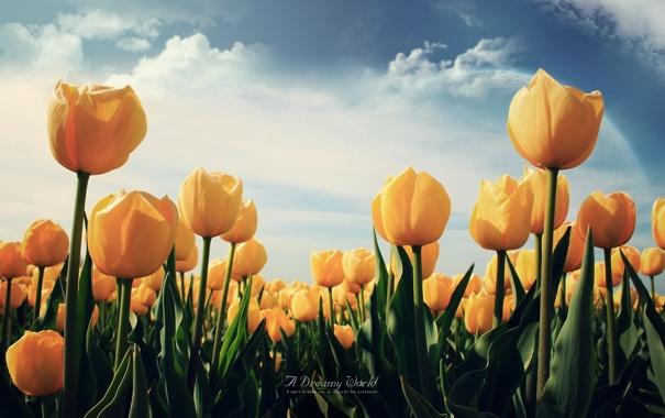 Фото обои небо, желтые, тюльпаны