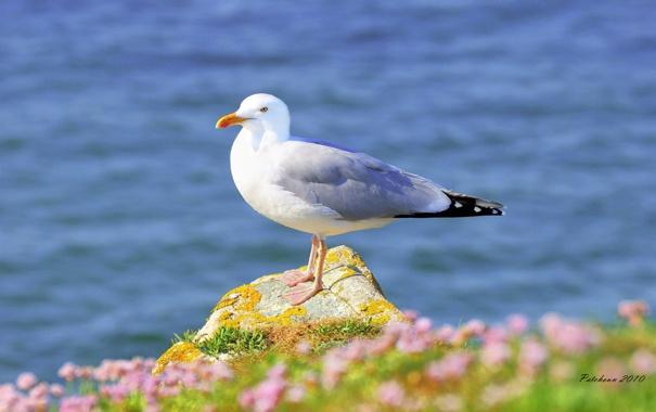 Фото обои вода, птица, чайка