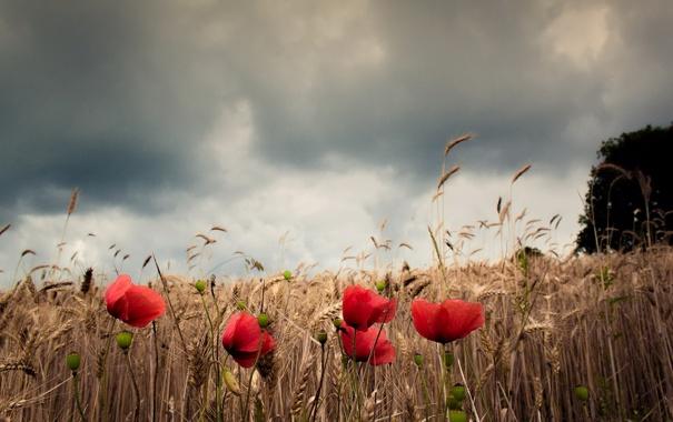 Фото обои поле, природа, маки