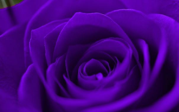 Фото обои роза, цветок, лепестки