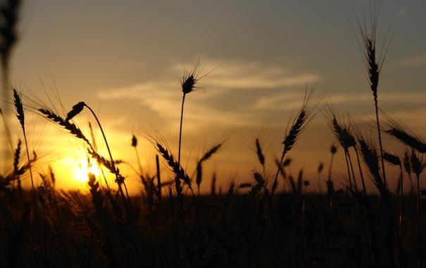 Фото обои колоски, небо, солнце, на закате, поле, вечер