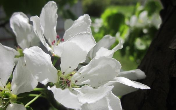 Фото обои белый, дерево, Цветы, ранетка.