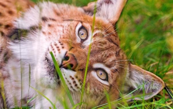 Фото обои взгляд, морда, лежит, рысь, дикая кошка