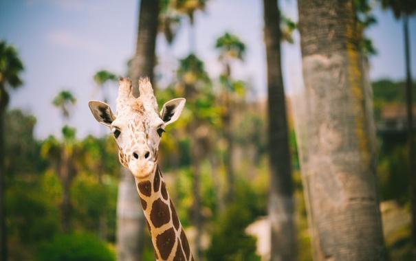 Фото обои животное, жираф, смотрит