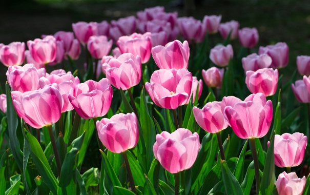 Фото обои цветы, тюльпаны, розовые, клумба