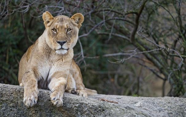 Фото обои кошка, взгляд, львица, ©Tambako The Jaguar