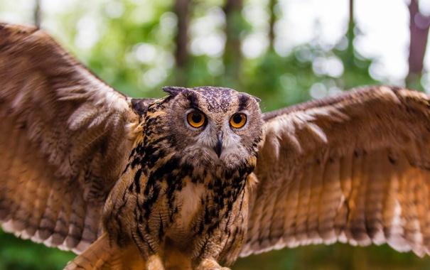 Фото обои сова, птица, крылья