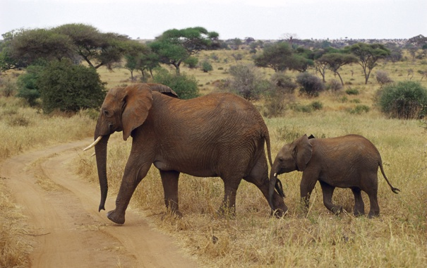 Фото обои африка, слоны, слоненок, elephant