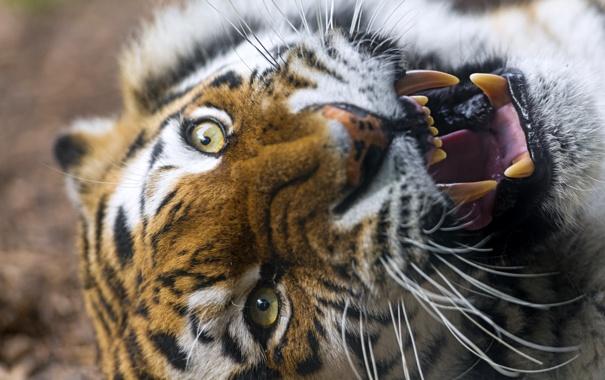 Фото обои кошка, морда, тигр, пасть, клыки, оскал, амурский