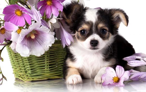 Фото обои цветы, собака, Корзина