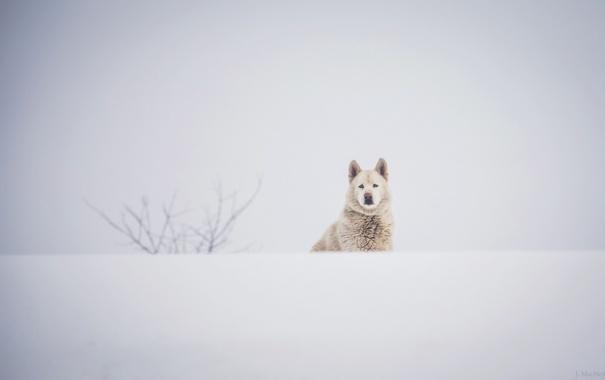 Фото обои зима, белый, морда, снег, собака, пёс