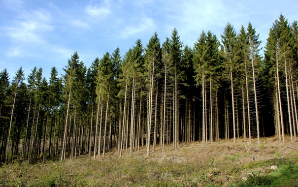Фото обои лес, деревья, стволы, склон, холм, хвойный