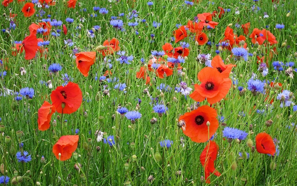 Фото обои поле, трава, природа, маки, луг