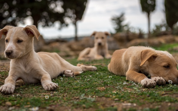 Фото обои собаки, фон, друзья