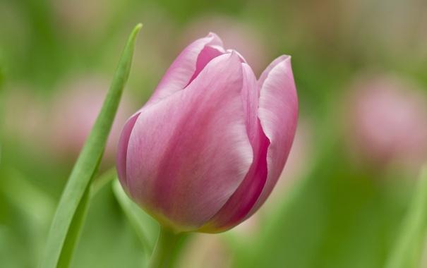 Фото обои макро, тюльпан, цветок