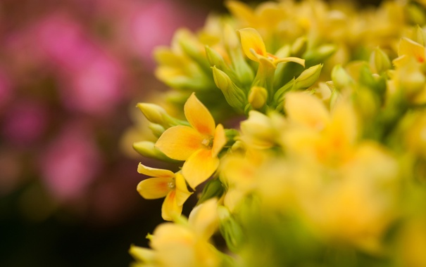Фото обои розовые, желтые, фокус, макро, цветы, каланхое