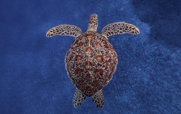Фото обои океан, Черепаха, под водой, синий фон