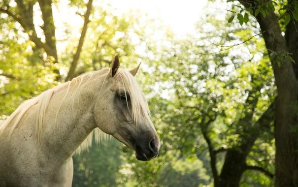 Фото обои морда, серый, конь, лошадь, грива