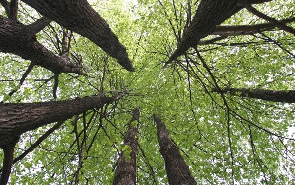 Фото обои природа, дерево, липа