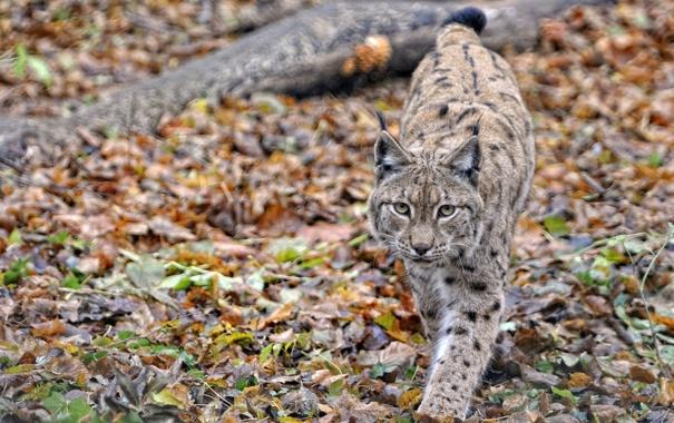 Фото обои осень, кошка, листья, животное, рысь, смотрит, идет
