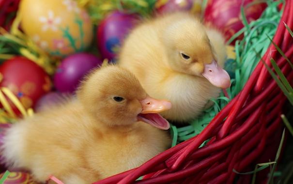 Фото обои утки, яйца, пасха, утята, крашенки