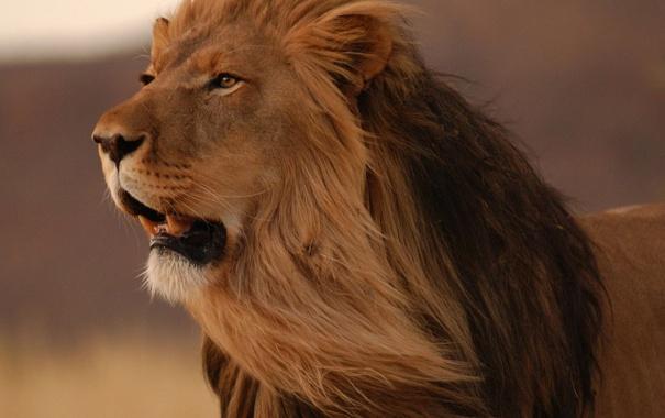 Фото обои лев, грива, рык