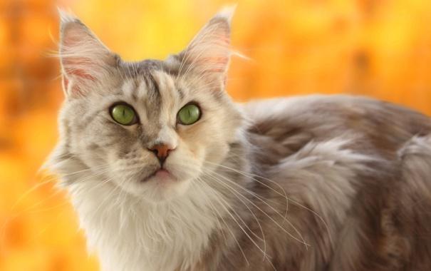 Фото обои кошка, морда, размытость, желтый фон