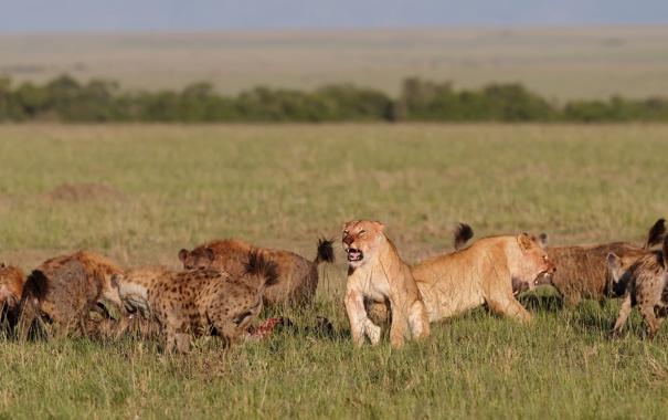 Фото обои трава, кошки, стая, драка, оскал, львицы, гиены
