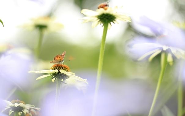 Фото обои поле, цветы, бабочка, лепестки, луг, насекомое, эхинацея