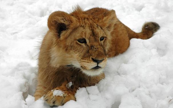 Фото обои зима, кошка, снег, лев, шерсть, львенок