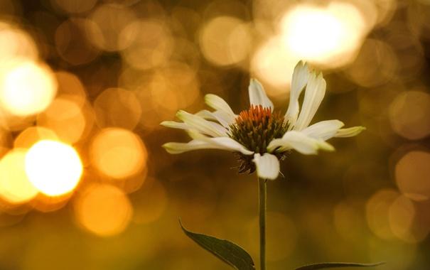 Фото обои эхинацея, цветок, макро, боке