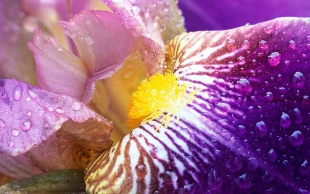 Фото обои цветок, нежный, Iris Close-Up