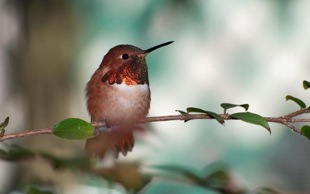 Фото обои птичка, Охристый колибри, rufous hummingbird