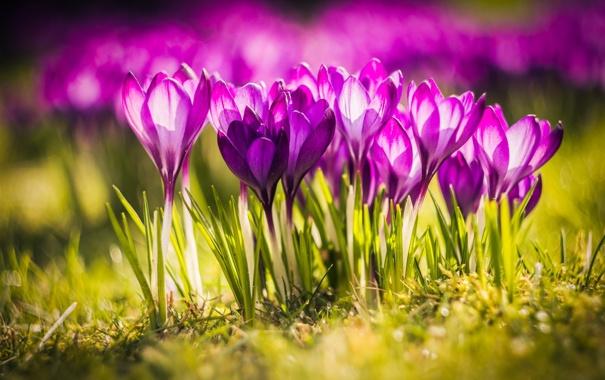 Фото обои цветы, природа, луг, крокусы, травка, nature, flowers