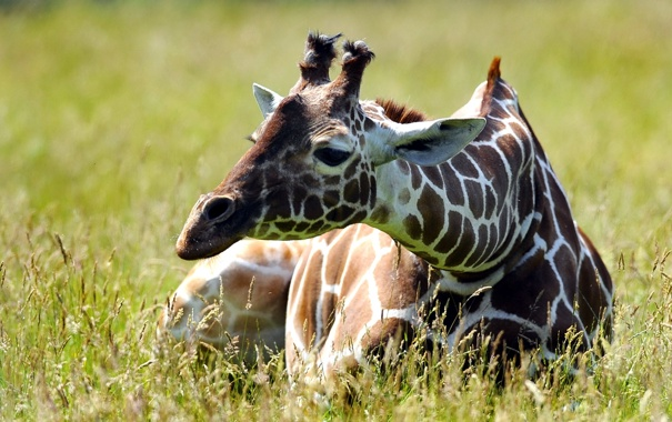 Фото обои лето, природа, жирафа