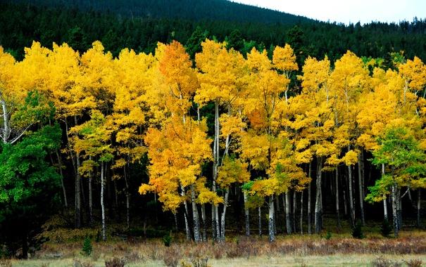 Фото обои природа, лес, желтый, берёзы, осень