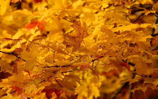 Фото обои листья, природа, клён, жёлтые, деревья. осень