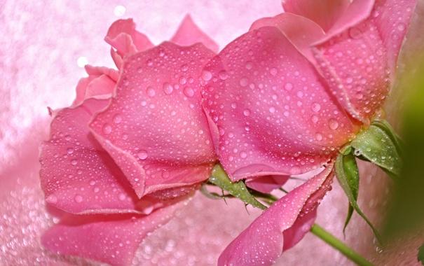 Фото обои вода, капли, макро, роза, лепестки, бутон