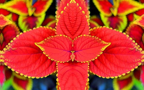 Фото обои листья, природа, растение, Колеус Блюме