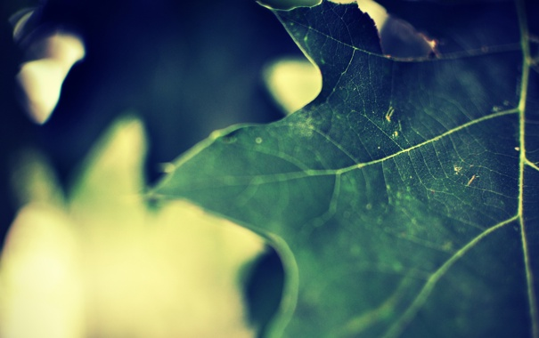 Фото обои макро, лист, фон, клен