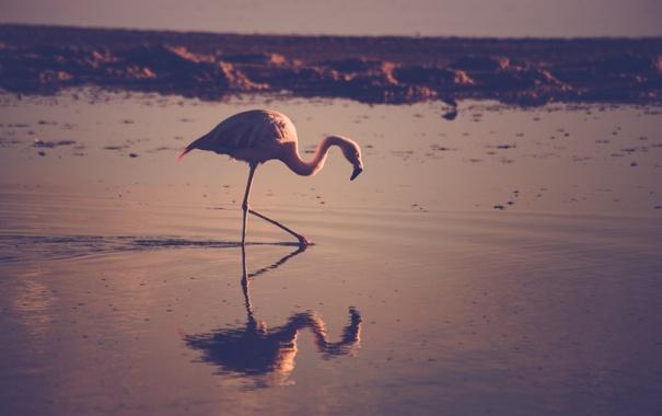 Фото обои вода, отражение, птица, перья, фламинго