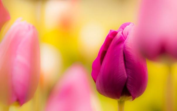 Фото обои лето, цветы, природа, тюльпан