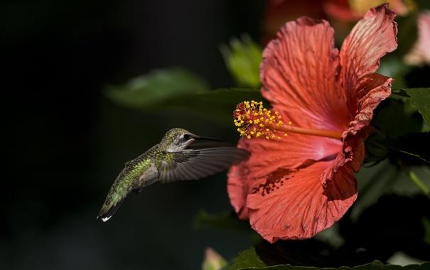 Фото обои цветок, макро, птица, колибри, гибискус