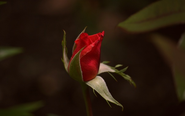 Фото обои red, rose, flower, gift