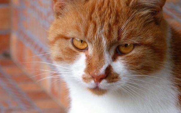 Фото обои кот, настроение, рыжий