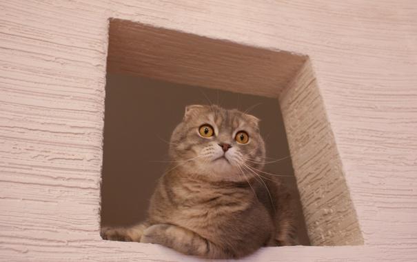 Фото обои глаза, кот, розовый, окно, британец