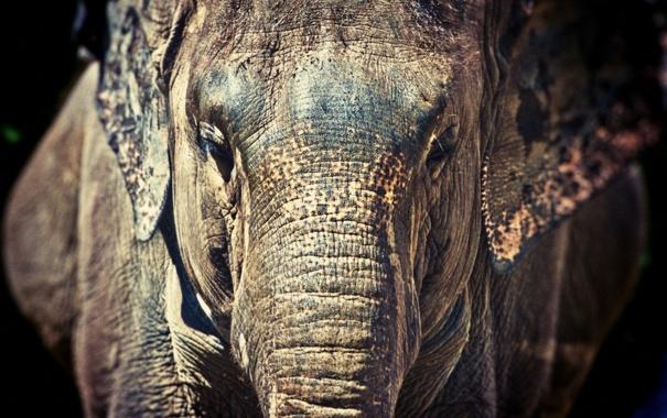 Фото обои морда, слон, хобот