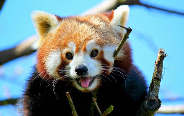 Фото обои красная панда, мордашка, малая панда