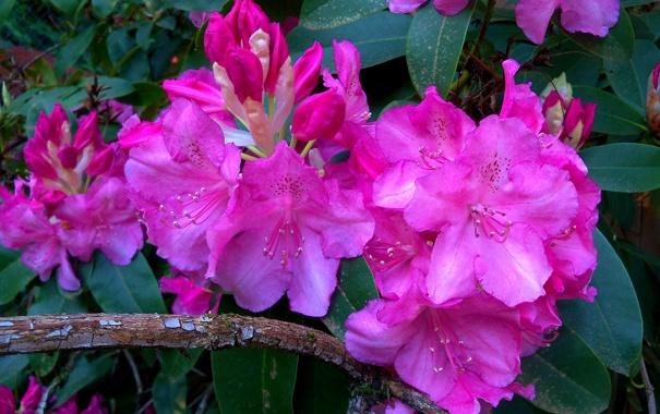 Фото обои рододендроны, ветка, соцветия